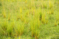 Bright Yellow Green Clumps of Savannah Grass - PhotoDune Item for Sale