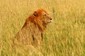 Male Lion Sitting in the Savannah - PhotoDune Item for Sale