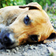 Dog Laying Down Resting - VideoHive Item for Sale