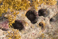 Rocky nest of sea -urchins and Seaweed (Sargassum sp.). - PhotoDune Item for Sale