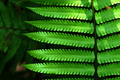 Fresh green fern leaves - PhotoDune Item for Sale