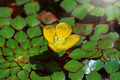 Water Chestnut Flower - PhotoDune Item for Sale