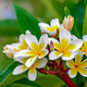 Branch of plumeria flowers - PhotoDune Item for Sale