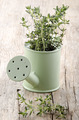 thyme in a watering can - PhotoDune Item for Sale