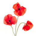 Poppy flowers on white - PhotoDune Item for Sale