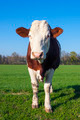 White and brown cow - PhotoDune Item for Sale