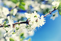 Branch of apple tree with blooming flowers - PhotoDune Item for Sale
