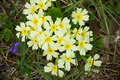 Primrose in the spring close up - PhotoDune Item for Sale