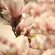 Blooming Magnolias - VideoHive Item for Sale