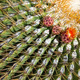 The Biznaga Cactus with Flower Blossom Outside. - PhotoDune Item for Sale