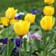 yellow tulip flower garden spring season - PhotoDune Item for Sale