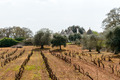 Vineyard and trulli near Cisternino (Italy) - PhotoDune Item for Sale