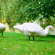 Two swans grazing green grass - PhotoDune Item for Sale