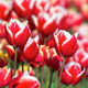 Red and White Tulips Closeup - PhotoDune Item for Sale