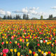 Field of Colorful Tulips Landscape - PhotoDune Item for Sale