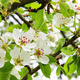 Apple blossoms in spring - PhotoDune Item for Sale