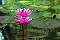 lotus flower - PhotoDune Item for Sale