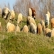 Sheep On A Pasture (Miniature Effect) - VideoHive Item for Sale