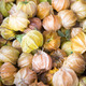 Cape Gooseberries or Ground Cherry (physalis peruviana) - PhotoDune Item for Sale