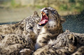 Lying family of Snow Leopard Irbis (Panthera uncia) - PhotoDune Item for Sale