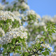 Blossoming apple tree - PhotoDune Item for Sale