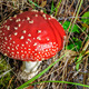 Fly agaric mushroom - PhotoDune Item for Sale