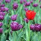 purple and one red tulip flower - PhotoDune Item for Sale