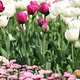 garden with tulip and daisy flower - PhotoDune Item for Sale