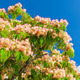 Pink Blossom Acacia Tree Brunches - PhotoDune Item for Sale