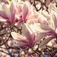Flowers of magnolia close up with retro filter effect - PhotoDune Item for Sale