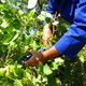 Man Harvesting Grapes - VideoHive Item for Sale