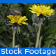 Bee On Dandelion - VideoHive Item for Sale