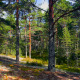 Northern Pine Forest - VideoHive Item for Sale