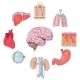 Human Organs Set - GraphicRiver Item for Sale