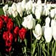 Red and White Tulips 2 - VideoHive Item for Sale